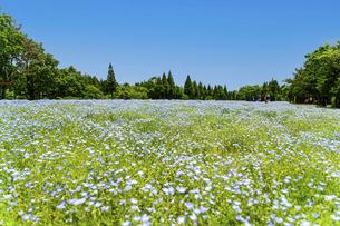 ネモフィラ うららかな春の季節に美しく 可愛らしく (くじゅう花公園) の写真素材 [FYI04807083]