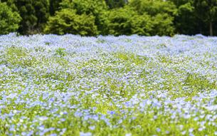 ネモフィラ うららかな春の季節に美しく 可愛らしく (くじゅう花公園) の写真素材 [FYI04807087]