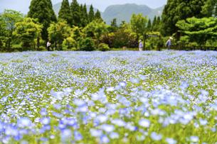 ネモフィラ うららかな春の季節に美しく 可愛らしく (くじゅう花公園) の写真素材 [FYI04807089]