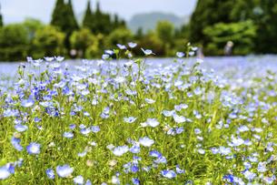 ネモフィラ うららかな春の季節に美しく 可愛らしく (くじゅう花公園) の写真素材 [FYI04807090]