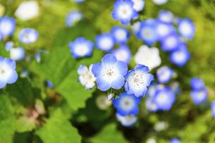 ネモフィラ うららかな春の季節に美しく 可愛らしく (くじゅう花公園) の写真素材 [FYI04807092]
