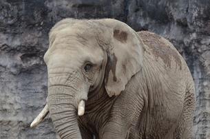 アフリカゾウの写真素材 [FYI04807151]