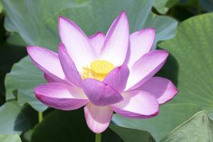 ハスの花の写真素材 [FYI04807159]