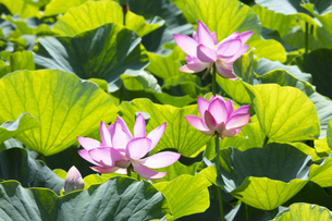 ハスの花の写真素材 [FYI04807161]