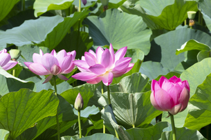 ハスの花の写真素材 [FYI04807163]