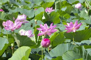 ハスの花の写真素材 [FYI04807164]