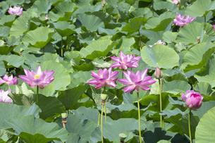 ハスの花の写真素材 [FYI04807165]