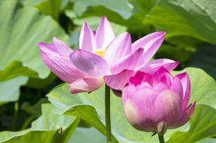ハスの花の写真素材 [FYI04807166]