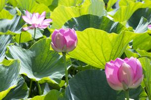 ハスの花の写真素材 [FYI04807168]