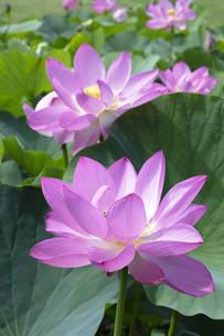 ハスの花の写真素材 [FYI04807170]