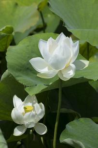 ハスの花の写真素材 [FYI04807173]