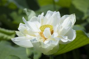 ハスの花の写真素材 [FYI04807174]