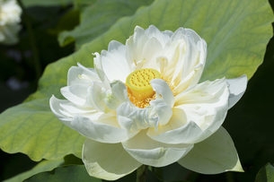ハスの花の写真素材 [FYI04807176]