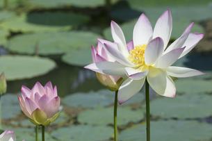 ハスの花の写真素材 [FYI04807177]