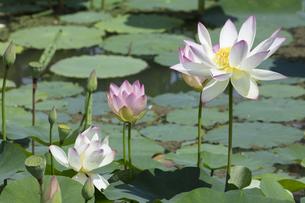 ハスの花の写真素材 [FYI04807178]