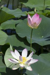 ハスの花の写真素材 [FYI04807179]