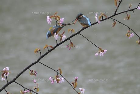 カワセミの求愛給餌の写真素材 [FYI04807293]