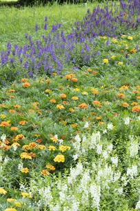マリーゴールドとアンゲロニアの花の写真素材 [FYI04807303]