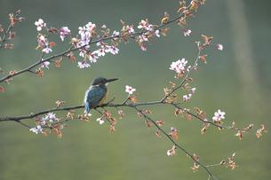 春のカワセミの写真素材 [FYI04807311]