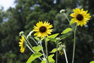 ヒマワリの花の写真素材 [FYI04807338]