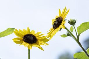 ヒマワリの花の写真素材 [FYI04807340]