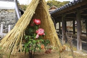 長谷寺の冬牡丹 奈良県の写真素材 [FYI04807651]