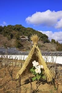 長谷寺の冬牡丹 奈良県の写真素材 [FYI04807656]