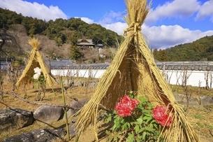 長谷寺の冬牡丹 奈良県の写真素材 [FYI04807657]