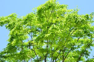青空と新緑の写真素材 [FYI04807687]
