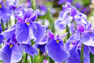 菖蒲の花の写真素材 [FYI04807709]