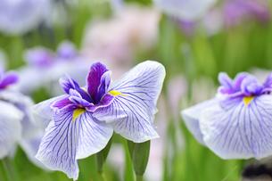 菖蒲の花の写真素材 [FYI04807714]