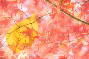 名古屋城外周を囲む美しい紅葉の写真素材 [FYI04808151]