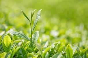 茶の写真素材 [FYI04808242]