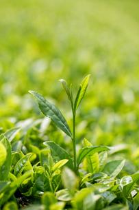 茶畑 お茶 新芽 緑茶の写真素材 [FYI04808244]