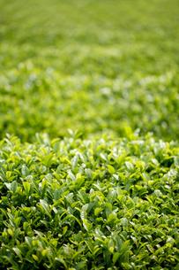 茶畑の新芽の写真素材 [FYI04808248]