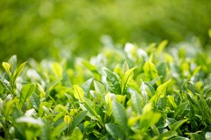 茶畑の新芽の写真素材 [FYI04808249]