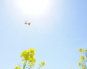 菜の花と蝶の写真素材 [FYI04808261]