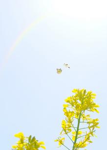 菜の花と蝶の写真素材 [FYI04808263]