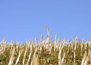 青空と土筆の群生の写真素材 [FYI04808266]