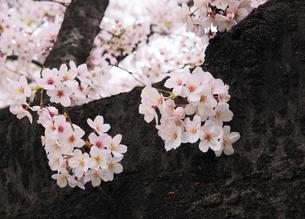 桜の花と古木の幹の写真素材 [FYI04808268]