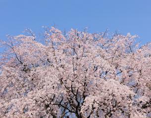 六義園の満開のしだれ桜の写真素材 [FYI04808269]
