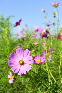 コスモスの花の写真素材 [FYI04808271]