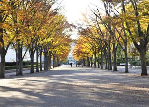代々木公園ケヤキ並木の黄葉の写真素材 [FYI04808274]