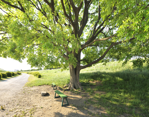 多摩川河川敷の大木の写真素材 [FYI04808293]