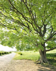 多摩川河川敷の大木の写真素材 [FYI04808297]