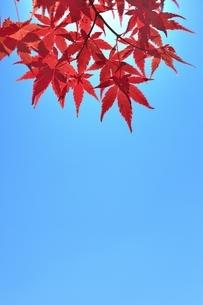 カエデの紅葉と青空の写真素材 [FYI04808490]