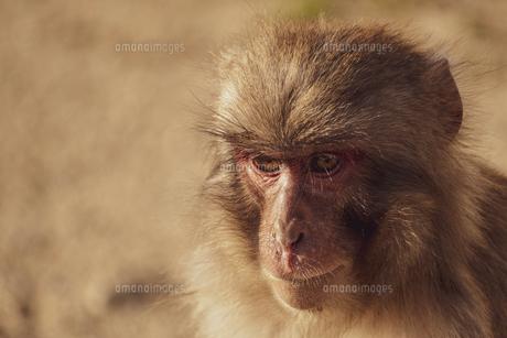 【動物】野生のニホンザルの写真素材 [FYI04808528]