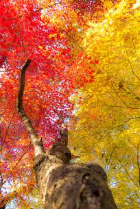 名古屋城外周を囲む美しい紅葉の写真素材 [FYI04808535]