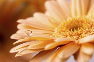 ガーベラと水滴の写真素材 [FYI04808620]