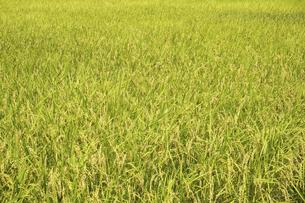 実る稲の写真素材 [FYI04808656]